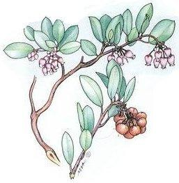 manzanita,  copyright Mimi Kamp, 2005, all rights reserved